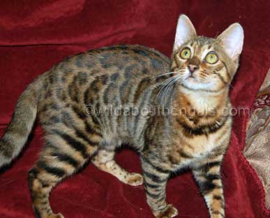 A Bengal Cats Personality Bengal Breed Profile